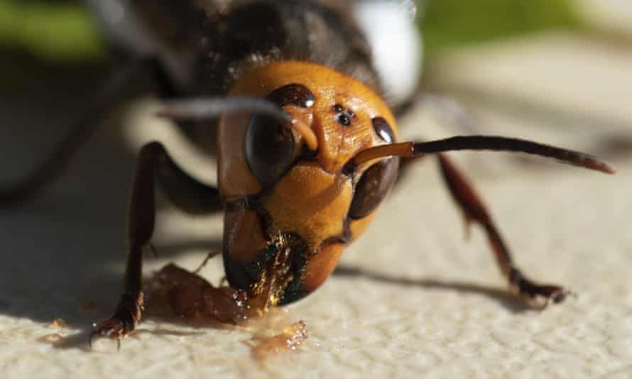 A captured Asian giant hornet fitted with a tracking device feeds on strawberry jam before helping officials locate – and destroy – the first nest found in the US.