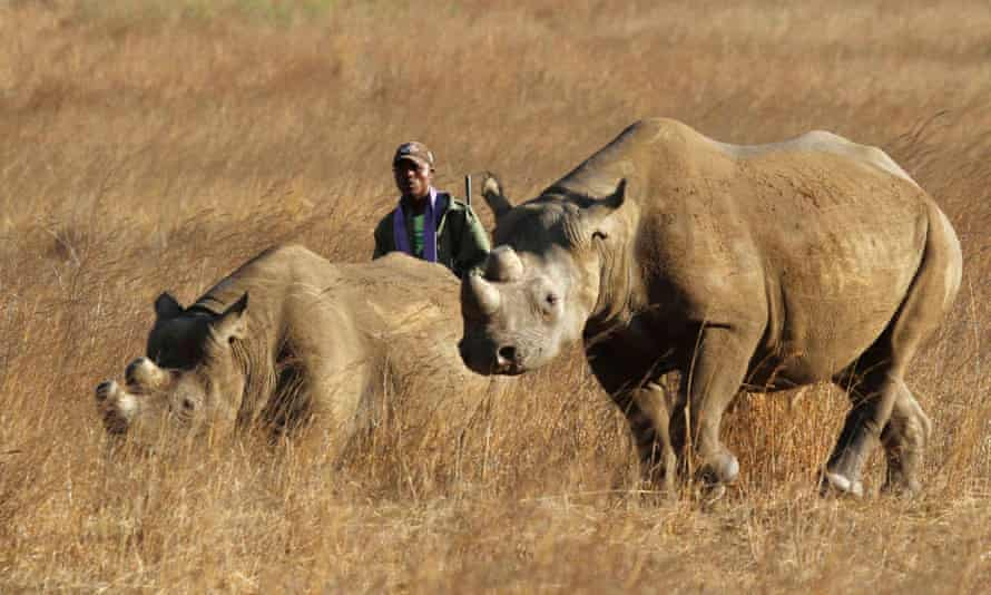 A ranger walks behind a pair of black rhinoceros at a conservation park in Zimbabwe. Corey Knowlton has paid $350,000 to kill one rhino in Namibia.