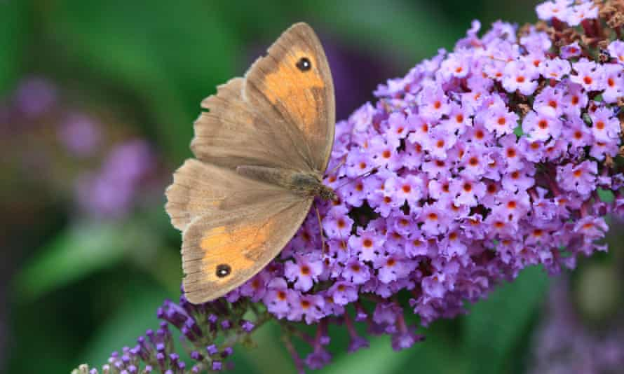 A meadow brown takes nectar from a buddleia