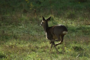 Roe deer running through English countryside