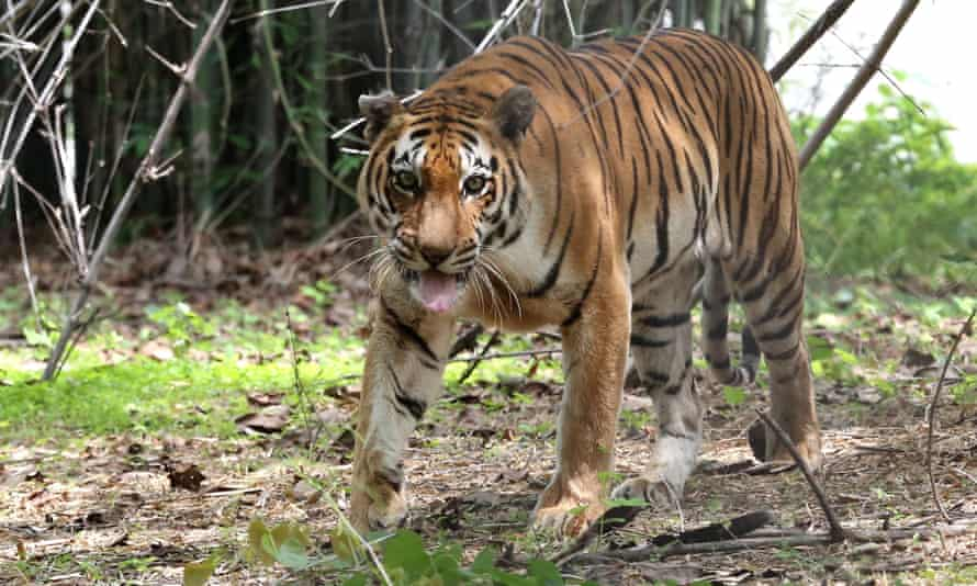 A tiger at a national park in Bhopal, India