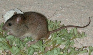 The Bramble Cay melomys has become extinct, Australian scientists say.