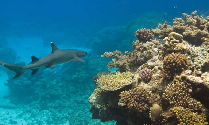 A whitetip reef shark on the Great Barrier Reef. WWF says the long nets catch almost anything they pass over, including dugongs, dolphins and turtles.