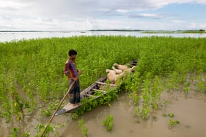 Sheep feed from a boat in a flood-affected area of Lalmonirhat, Bangladesh