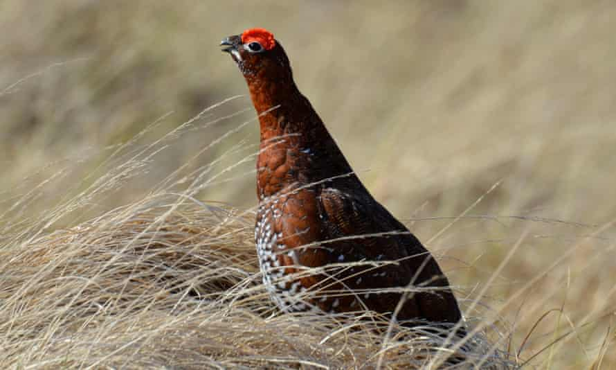 Bekking cock red grouse.