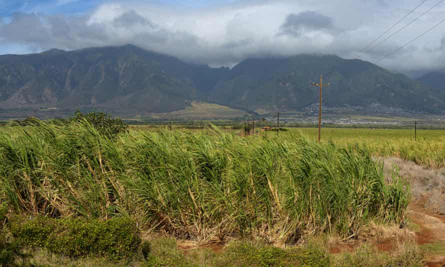 A sugar cane field on Maui, which is the last harvest to be farmed on the island.
