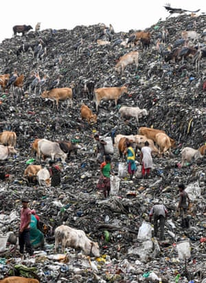 Cows and greater adjutant storks accompany rag pickers looking for recyclable materials at one of the Guwahati rubbish tip, one of the largest in north-east India