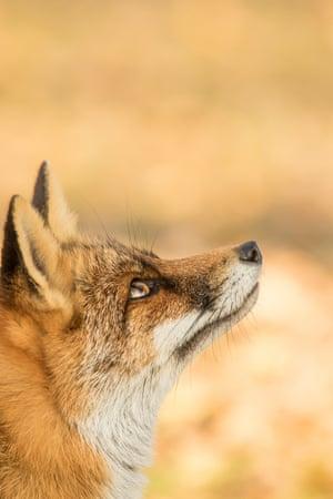 Red fox by Becca Fulcher