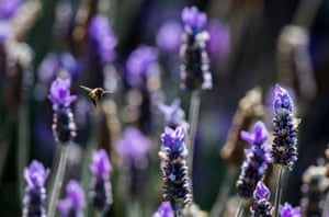 Bees fly among a lavender bush in Cape Town, South Africa
