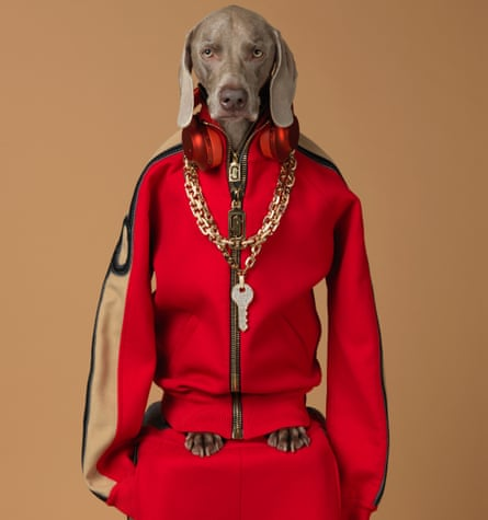 A Weimaraner dressed in a bright red track suit top with a thick gold chain around his neck. The sleeves hang by his side, his feet pock out of the bottom. He's on a red plinth, suggesting the track suit bottoms. Qey, William Wegman, 2017, pigment print.