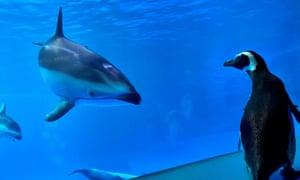 Wellington, a 32-year-old rockhopper penguin, meets other animals as exploring the aquarium's Amazon Rising exhibit at Shedd Aquarium in Chicago.