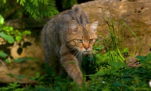 A wildcat sneaking on the prowl.