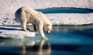 Polar bear tries its weight on thin sea ice