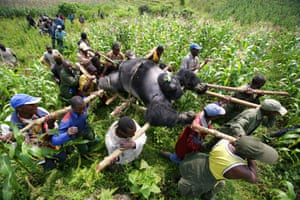 Conservation rangers from an anti-poaching unit work with locals to evacuate the bodies of four mountain gorillas killed in mysterious circumstances in Virunga National Park, the Democratic Republic of Congo, in July 2007.