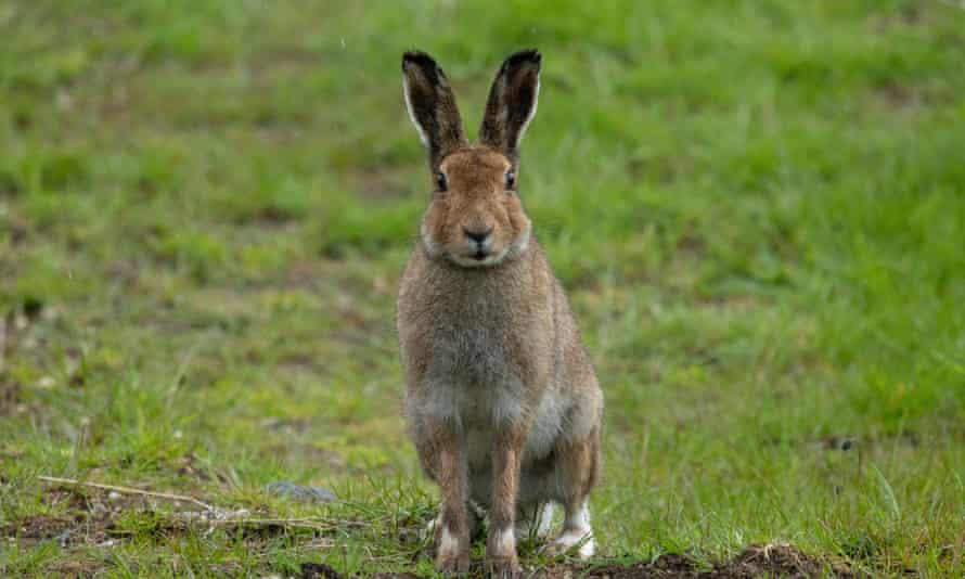 An Irish hare, with elegant coat and barbered ears.