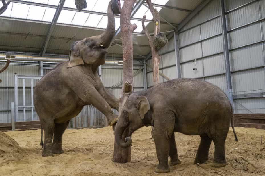 Asian elephants at Whipsnade.