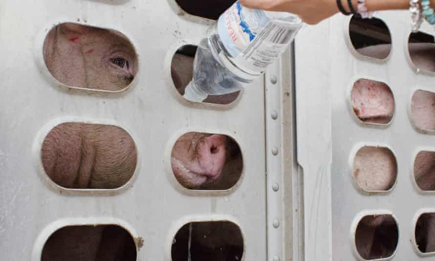 pigs in truck offered water