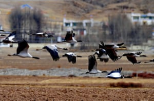 Black-necked cranes flying at a national nature reserve in Linzhou County of Lhasa, capital of southwest China's Tibet Autonomous Region