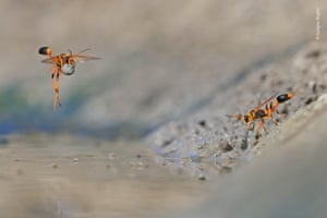 Mud-rolling mud-dauber by Georgina Steytler, Australia – winner 2018, Behaviour: invertebrates