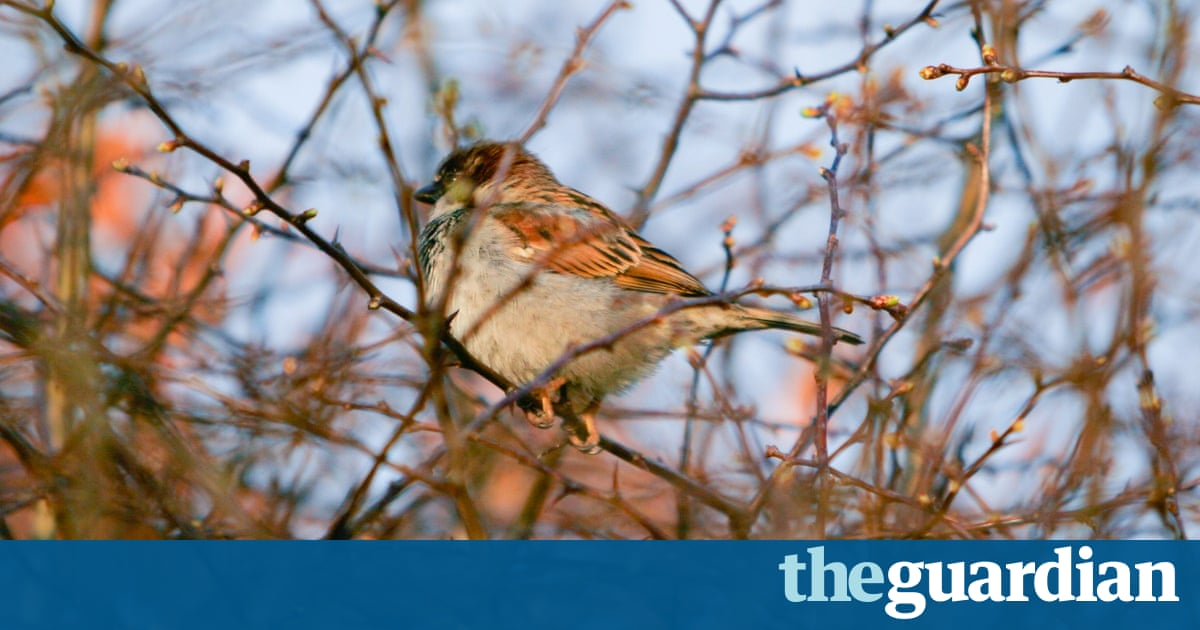 Raising Of Sparrow Pictures : World Sparrow Day: readers share their photographs  Environment  The ...