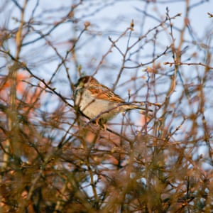 Sparrow Sings SpringSparrow in middle of hawthorn buds. Complimentary colours of orange feathers and buds with blue sky