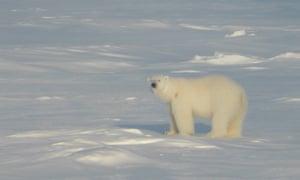a polar bear standing on sea ice