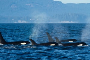 Oil tankers put orcas in the Salish Sea at risk.