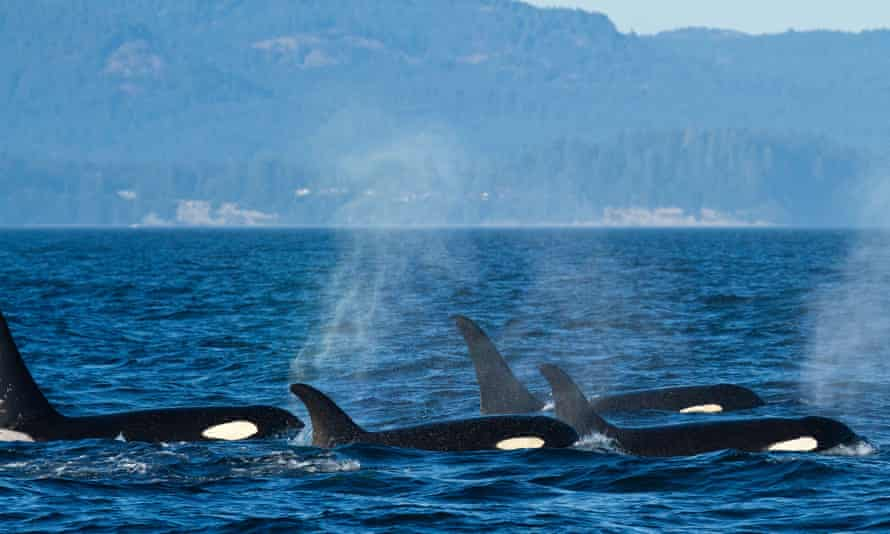 Orcas feed in the abundance of the Salish sea, which has some of the world's largest wild salmon runs.