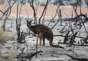 A wallaby is seen on burnt bushland on Kangaroo Island.