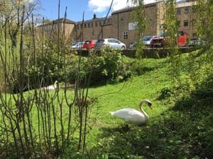 The swans' nest, built near an office block