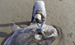 Jessica Nielsen examines a beached hoodwinker sunfish at at Coal Oil Point Reserve in Santa Barbara
