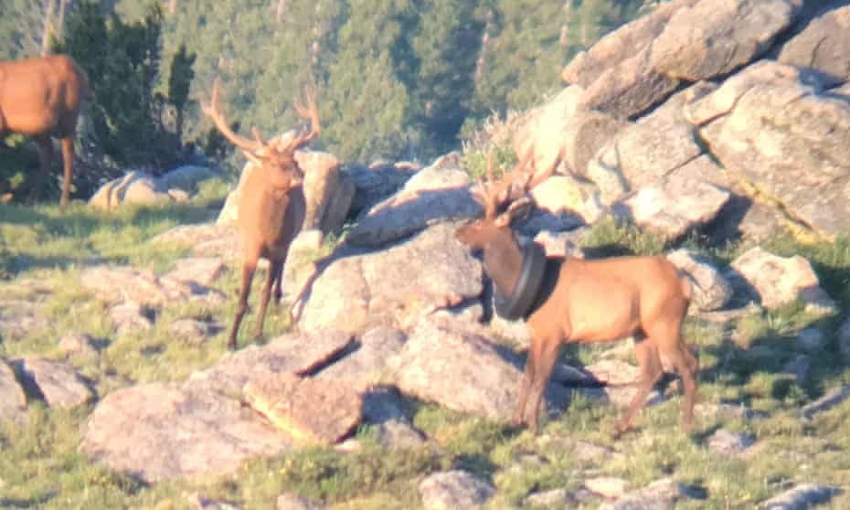 The first sighting of the elk in 2019.