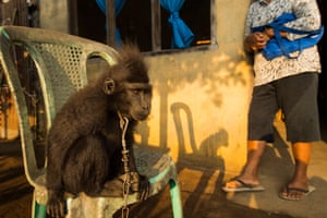 The Italian wildlife photographer Stefano Unterthiner found Nona, a crested black macaque, kept illegally as a pet in Kumeresot village, north Sulawesi, Indonesia.