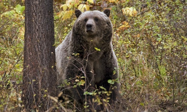 Grizzly bear attack kills person at campsite in western Montana