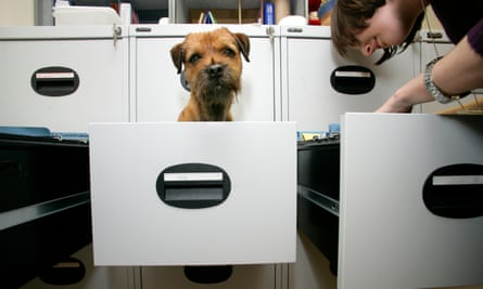 a border terrier in the office