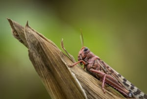 A desert locust sits on a maize plant at a farm in Katitika village, Kitui county, Kenya