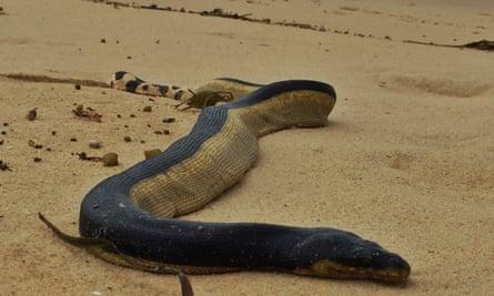 venomous yellow-bellied sea snake found on California beach