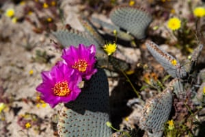 Flowering cacti in Anza-Borrego desert state park, east of San Diego