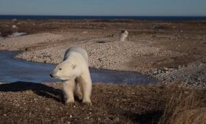 A polar bear outside Churchill, Hudson Bay, Canada, November 2016.
