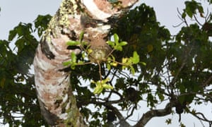 A Squamellaria 'field' in a Macaranga tree, farmed by a colony of Philidris nagasau ants.