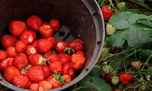 Woodland or alpine strawberry 'Fragaria'.