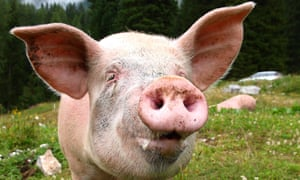 Two pig farmers in Western Australia illegally imported Danish pig semen.