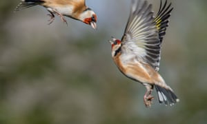 Two adult goldfinches fighting over food