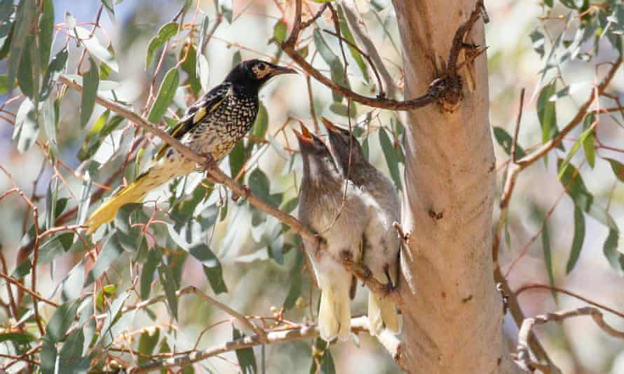 An adult regent honeyeater bird with two chicks