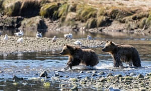Grizzly Bear Cubs Chasing Salmon in the Great Bear Rainforest, British Columbia, Canada