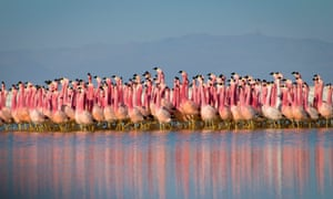 flamingos dance in the Andes.