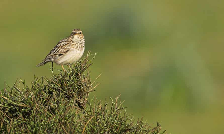 Woodlarks have a pretty, lilting song