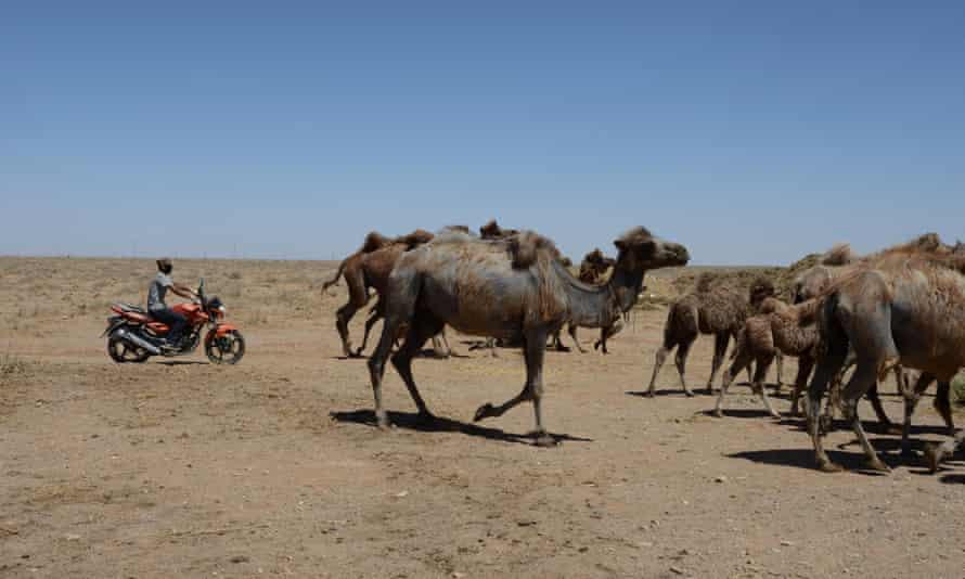 Camels in Bayan Nur