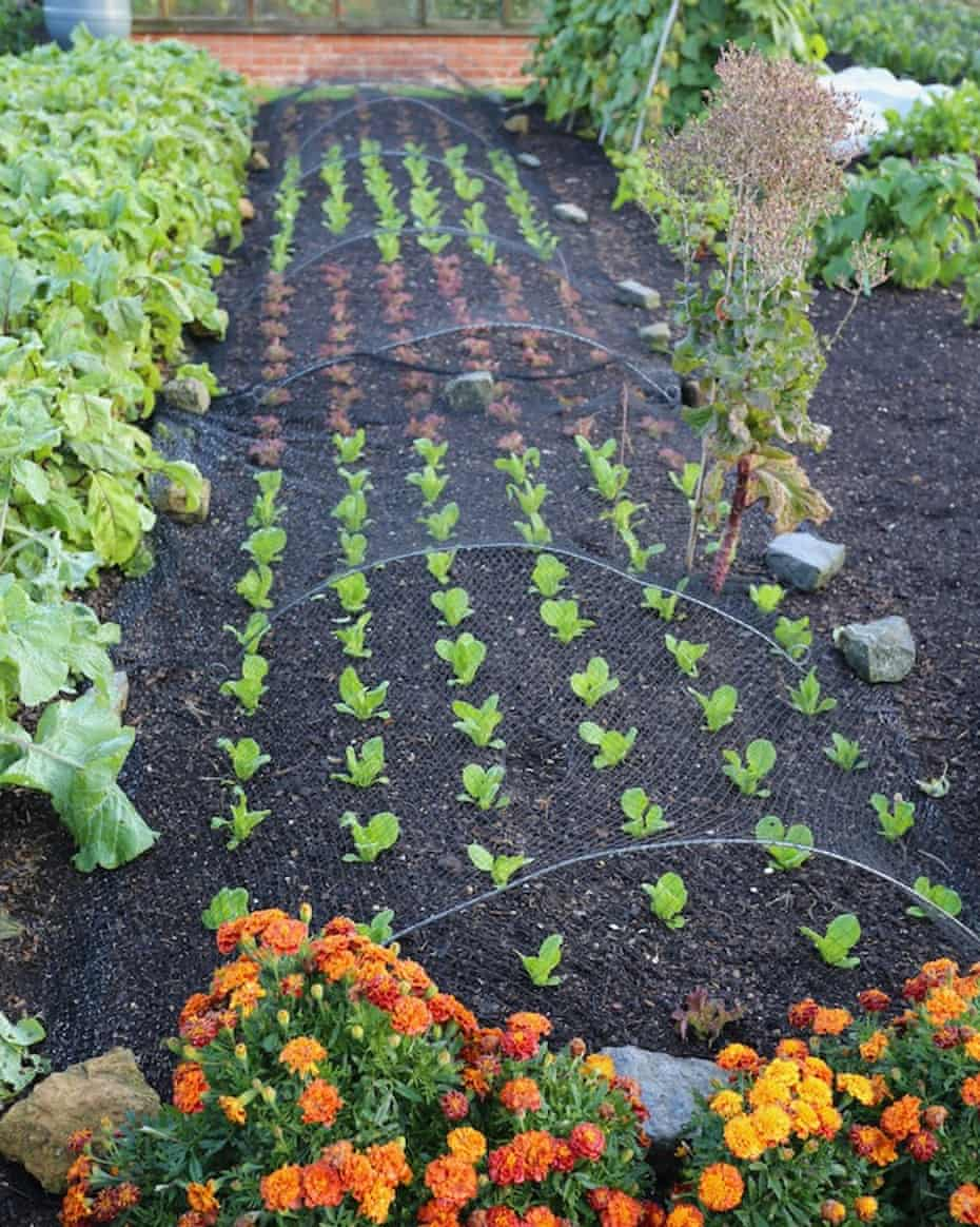 New summer planting of lettuce after clearing onions, with no bed preparation or compost added.