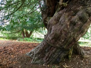 Iron bands encircle the trunk of the yew tree